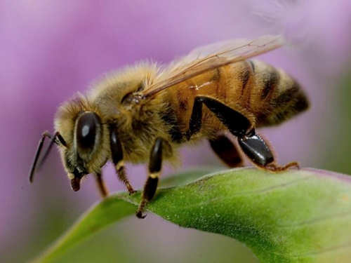 Scary Insects Africanized Honey Bee