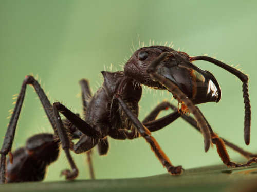 Scary Insects Bullet Ant