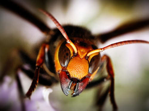 Scary Insects Japanese Giant Hornet