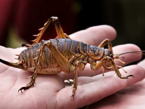Scary Insects New Zealand Weta