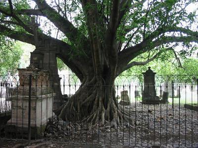 Vampire Tree